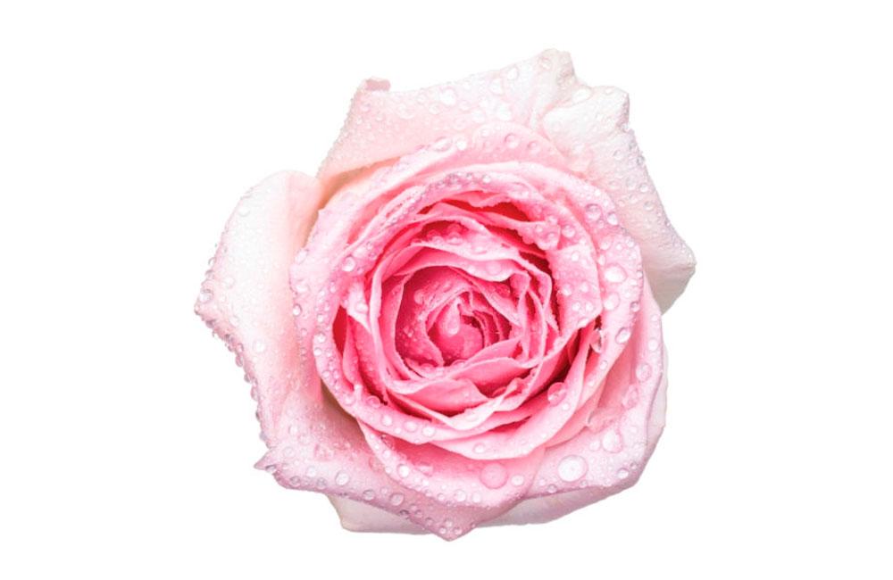 Fraîcheur de rose